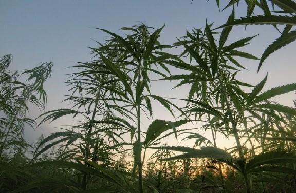 Kannabyte cannabis Unsplash